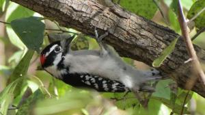 Downy Woodpecker underneath branch--photo by Julie McCarty, Eagan MN USA.