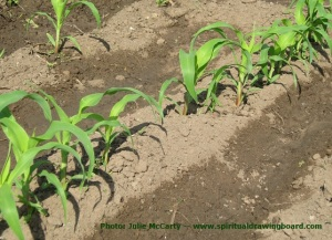 Growing corn plants--photo by Julie McCarty
