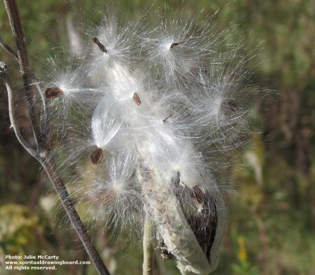 Milkweed in autumn 2 -- photo by Julie McCarty